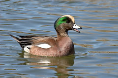 American Wigeon Calling. An American Wigeon drake calling on a New Mexico pond during spring Stock Photo