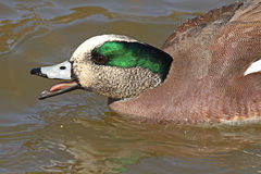 American Wigeon Calling Out. An American Wigeon drake calling out on a New Mexico pond during spring courtship Royalty Free Stock Images