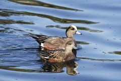 American Wigeon Dabbling Ducks. American wigeon male and female pair Stock Images