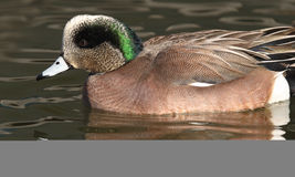 American Wigeon Drake. An American Wigeon drake on a New Mexico pond Stock Image