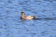 American Wigeon Drake. A male American Wigeon Anas americana swimming on a lake Royalty Free Stock Image