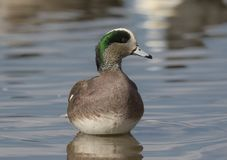American Wigeon Drake. A male, or drake American Wigeon stands in the shallow waters of a small pool on its wintering grounds in the Colorado Front Range Stock Photos