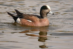 American Wigeon Drake. An American Wigeon drake swimming on a pond in New Mexico Stock Photography