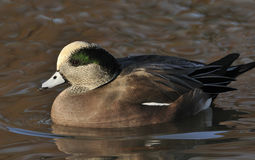 American Wigeon Duck Stock Photos