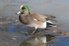 American Wigeon Duck Drake. Walking  to shore in water of melting frozen winter lake Stock Images