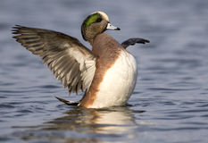 American Wigeon Duck flapping her wings Royalty Free Stock Images