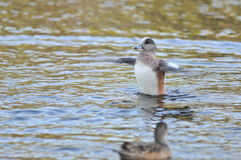 American wigeon duck. On lake at evening Royalty Free Stock Photos