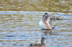 American wigeon duck. On lake at evening Stock Image