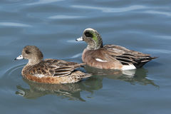 American Wigeon Duck Pair Stock Image