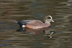 American Wigeon Stock Photography