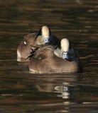 American Wigeon Ducks. Two male American Wigeon Ducks - Anas americana Royalty Free Stock Image