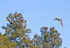 American Wigeon Ducks Flying Stock Photo