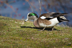 American Wigeon Feasting on the First Grass of Spring. Male American Wigeon Feasting on the First Grass of Spring Royalty Free Stock Photography