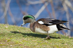 American Wigeon Feasting on the First Grass of Spring. Male American Wigeon Feasting on the First Grass of Spring Stock Photos