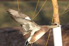 American Wigeon In Flight Royalty Free Stock Image