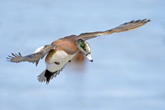 American Wigeon flying Royalty Free Stock Photos