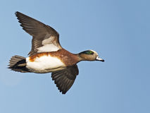 American Wigeon flying. A Male American Wigeon in flight Royalty Free Stock Photo