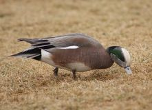 American Wigeon male royalty free stock image