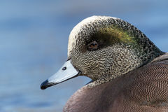 American Wigeon Male - Anas americana Royalty Free Stock Images