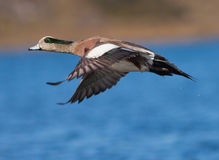 American Wigeon. A male American Wigeon (Anas americana) in flight Royalty Free Stock Image