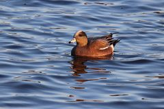 American Wigeon. A male American Wigeon Anas americana swimming on a lake Royalty Free Stock Image