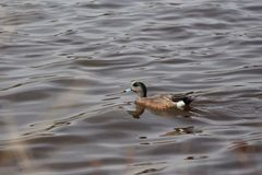 American Wigeon male duck. In water Stock Photos