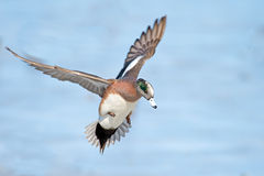 American Wigeon. A Male American Wigeon in flight before Landing Royalty Free Stock Photography