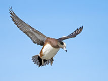 American Wigeon. A Male American Wigeon in flight before Landing Royalty Free Stock Image