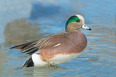American Wigeon. A Male American Wigeon standing on ice Royalty Free Stock Photo