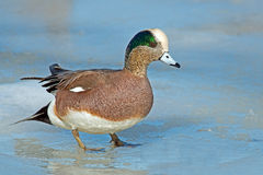 American Wigeon. A Male American Wigeon standing on ice Royalty Free Stock Images