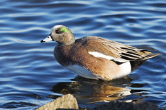 American Wigeon. A Male American Wigeon Standing in Water Stock Images
