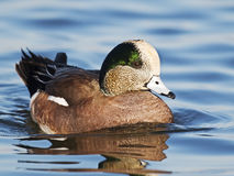 American Wigeon. A Male American Wigeon in Water Stock Photo