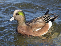 American Wigeon. A Male American Wigeon in the water Royalty Free Stock Image