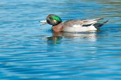 American Wigeon x Mallard Hybrid. An American Wigeon x Mallard Hybrid duck swimming in the open water quacking at other unseen ducks Stock Photos