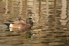 American Wigeon Pair Royalty Free Stock Photography