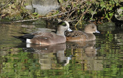 American Wigeon pair Stock Photography