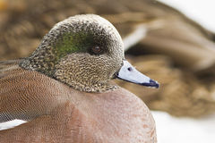 American Wigeon portrait Stock Photos