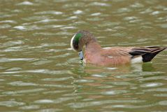 American Wigeon Royalty Free Stock Photography