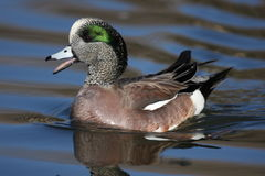 American Wigeon quacking. An Amercian Wigeon duck swimming and quacking in New Mexico Stock Image