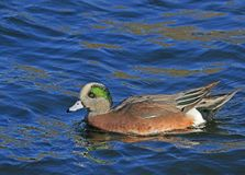 Duck. American Wigeon Swimming in blue water Royalty Free Stock Image