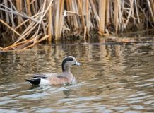 American Wigeon. An american wigeon swims in Market Lake near Roberts, Idaho Stock Photos