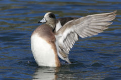 American Wigeon on the Water Stock Image
