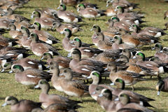 American Wigeons on Grass Royalty Free Stock Images
