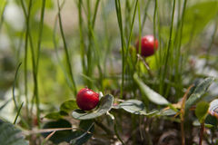 American wintergreen Royalty Free Stock Image