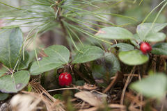 American wintergreen Stock Photos