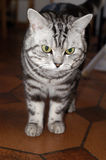 American wirehair Royalty Free Stock Photos