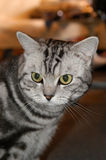 American wirehair Royalty Free Stock Photo