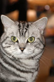 American wirehair Stock Photos