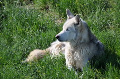 American Wolf relaxing in cool grass Stock Photos