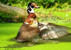 American wood duck Stock Photos